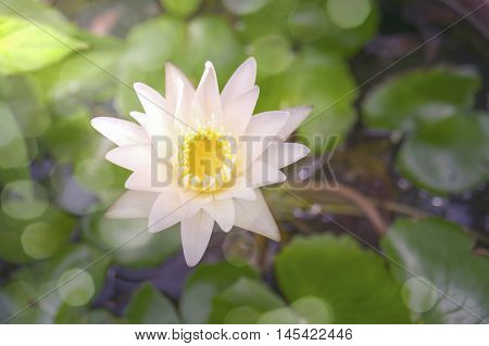 close up Top view beautiful waterlily or lotus flower with blurred lotus leave and surface of water background filtered imageselective focuslight effect added with bokeh