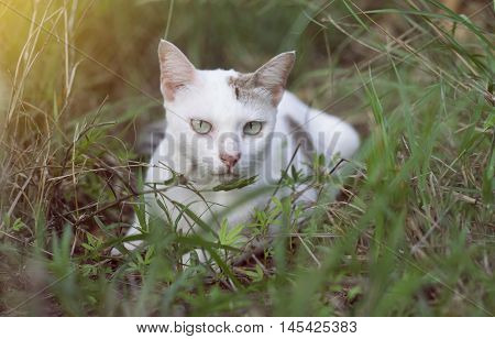 A White Thai Cat Siting Among The Green Grass With Blurred Background And See To Camera  , Selective