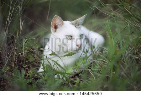 A White Thai Cat Siting Among The Green Grass With Blurred Background And See Something  , Selective
