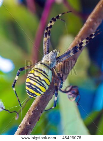 The Yellow Striped Venomous Wasp Spider (argiope Bruennichi)