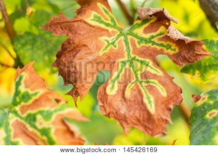 Vine Leaves in Fall Colors. Vineyards in Autumn Harvest. Fall Leaves Background.