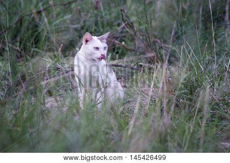 A White Thai Cat Has Licking Lips And See Something  Siting Among The Green Grass With Blurred Backg