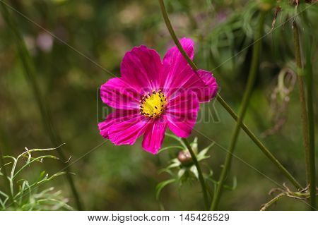 Flower of a Mexican aster (Cosmos bipinnatus)