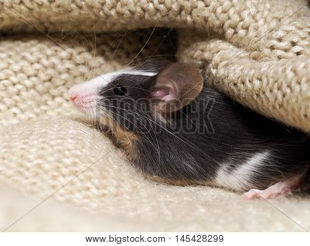 The Mouse Sits In The Closet On Things. Rodent Lived In The House