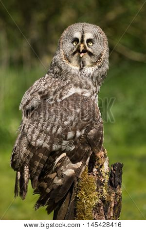 A upright vertical full length image of a great gray owl perched on a podt and looking up at the sky