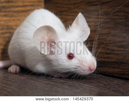 The mouse sits in the empty closet. Rodent lived in the house. White mouse red eyes pink tail