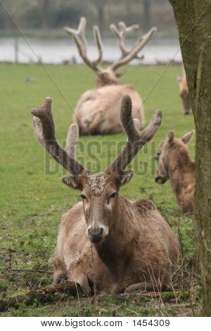 P�¨Re David'S Deers