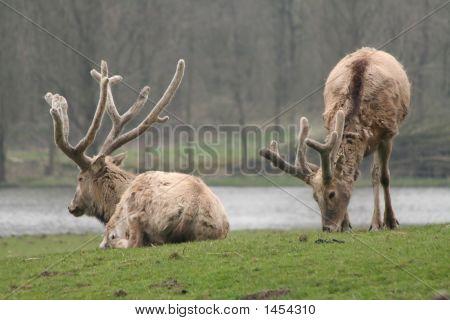 Two P�¨Re David'S Deers