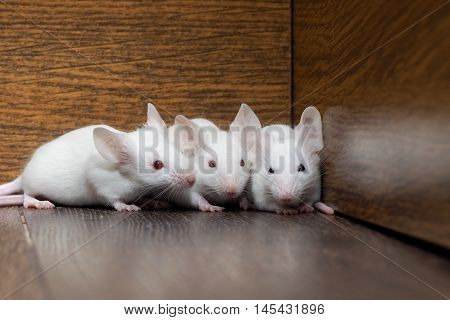 Nest of white mice in the old cabinet. Three mouse - white hair red eyes pink paws and tails