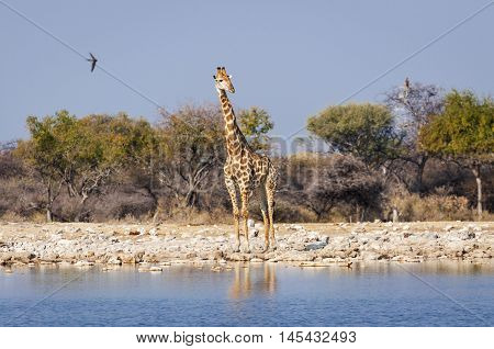 Giraffe in a waterhole in the Etosha National Park in Namibia Africa; Concept for travel in Africa and Safari
