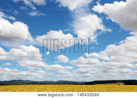 Blue Sky with Fluffy White Clouds and miles and miles of Sunflower fields