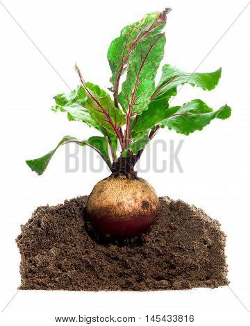 Beet root. Growing plant isolated over white background