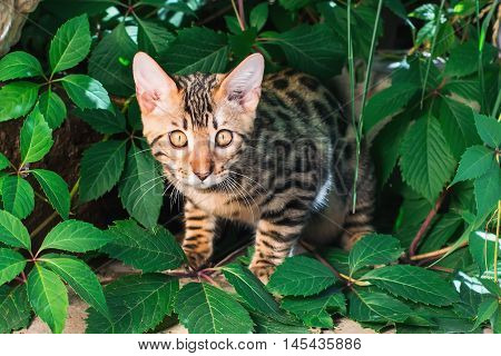 Bengal kitten alone outdoors peeking out from green leaves