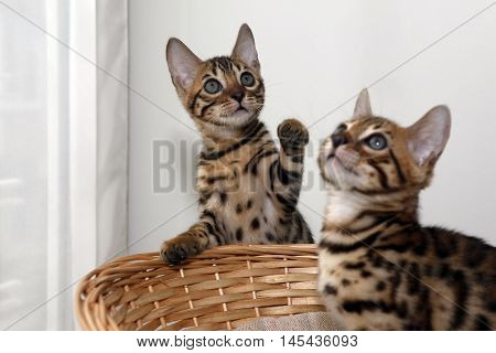Two small bengal kittens in a basket