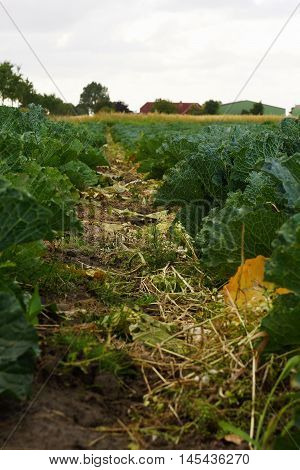 Vegetable field with savoy cabbage  in summer