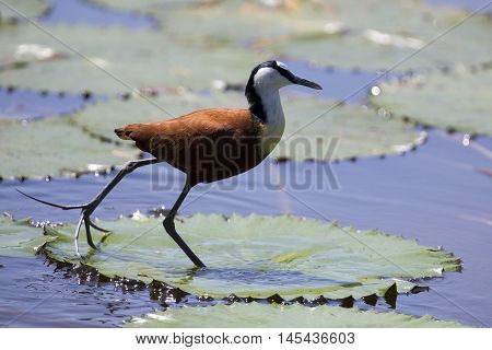 African jacana plod along on water plants chasing small insects to eat