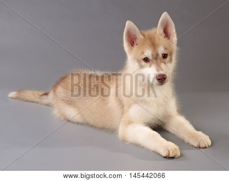 Siberian husky puppy lying on grey background. Side and front view looking at camera