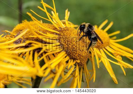 Bumblebee collecting pollen from a flower, Carpathians, Ukraine