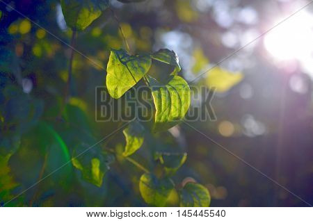 green tree leaves with shimmering evening sunlight