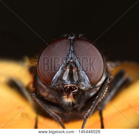Housefly face compound eyes macro front view close-up