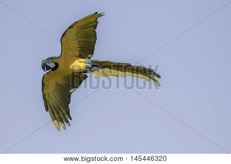 Blue and gold (yellow) macaw (Ara ararauna) in flight against blue sky