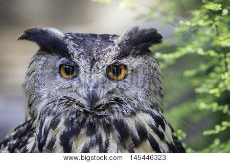 Face of the Eurasian eagle owl (bubo bubo) also known as European Eagle owl. The eagle-owl is from the higher classification of horned owls and is one of the largest species.