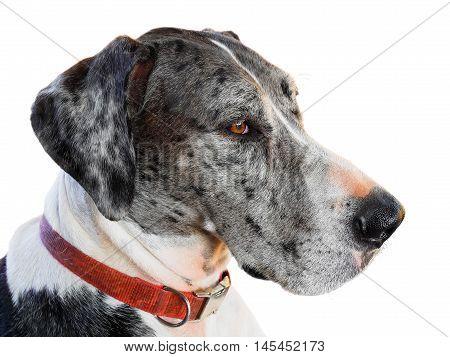 Close up great dane dog isolated on white background