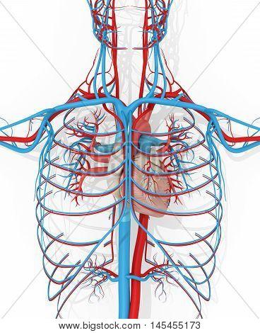 Human anatomy vascular system medical illustration on white background. 3d illustration.