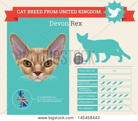 Devon Rex Cat breed vector infographics. This cat breed from United Kingdom
