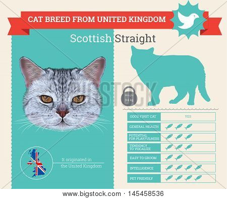 Scottish Straight Cat breed vector infographics. This cat breed from United Kingdom