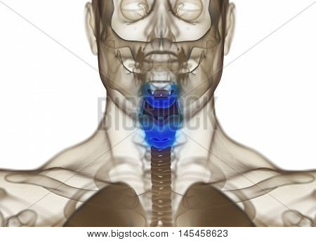 Human thyroid gland. Xray image. 3D illustration.
