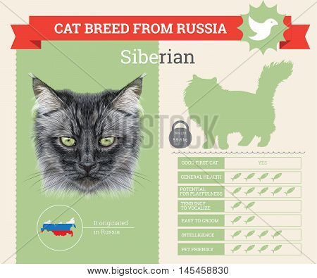 Siberian Cat breed vector infographics. This cat breed from Russia