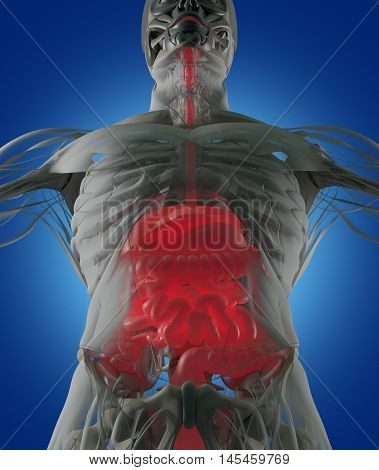 Digestive system, human anatomy, xray like futuristic scan. 3d illustration.