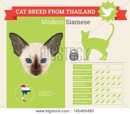 Modern Siamese Cat breed vector infographics. This cat breed from Thailand