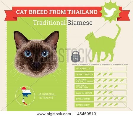 Traditional Siamese Cat breed vector infographics. This cat breed from Thailand