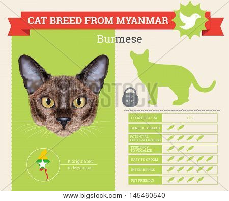 Burmese Cat breed vector infographics. This cat breed from Myanmar
