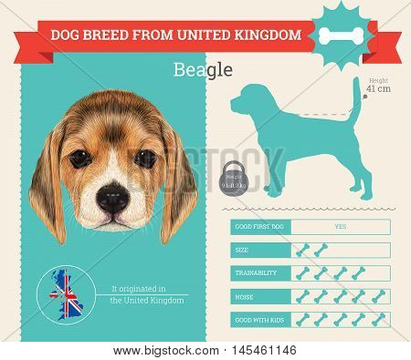 Beagle dog breed vector infographics. This dog breed from United Kingdom