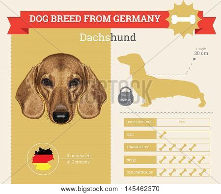 Dachshund dog breed vector infographics. This dog breed from German