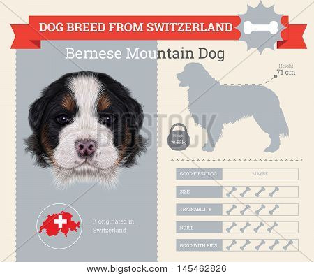 Bernese Mountain dog breed vector infographics. This dog breed from Switzerland