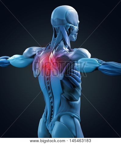 Human anatomy muscle groups, torso back, pain. 3d illustration.