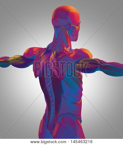 Human anatomy muscle groups, torso back, color coded. 3d illustration.