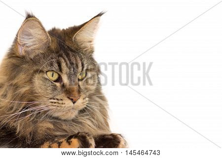 Cat breed Maine Coon with long antennae