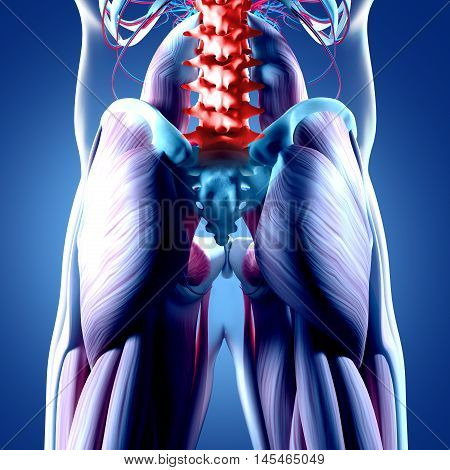 Human anatomy, spine, pelvis and gluteus maximus. Spine injury or pain. 3d illustration.