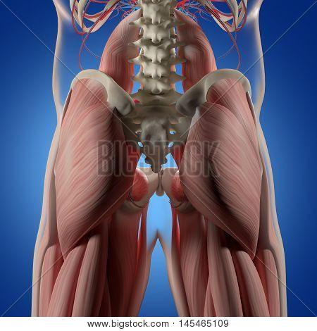 Human anatomy, spine, pelvis and gluteus maximus. 3d illustration.