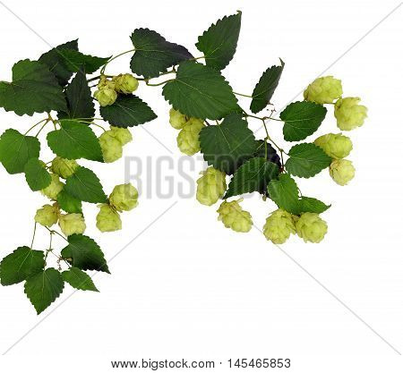 Branches hop with leaves isolated on white background without shadows. Fresh green hops with cones . Beer production ingredient. Brewing