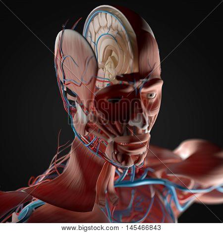 Human anatomy, inside of brain cross section. 3D Illustration.