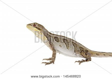 Brasilian tree lizard, Enyalius bilineatus, isolated on white background