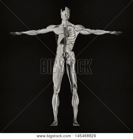 Human anatomy full body dissection, muscle, skeletal. 3D illustration. Muscular and vascular system.