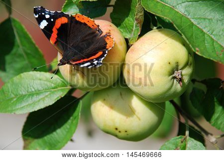Bright living butterfly Admiral sitting on the Apple in the summer garden