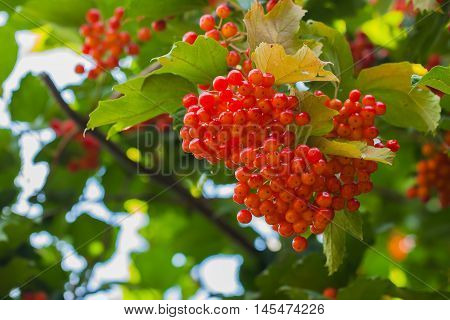 Fruits of guelder-rose are edible and quite decorative. Concept autumn or herbal medicines